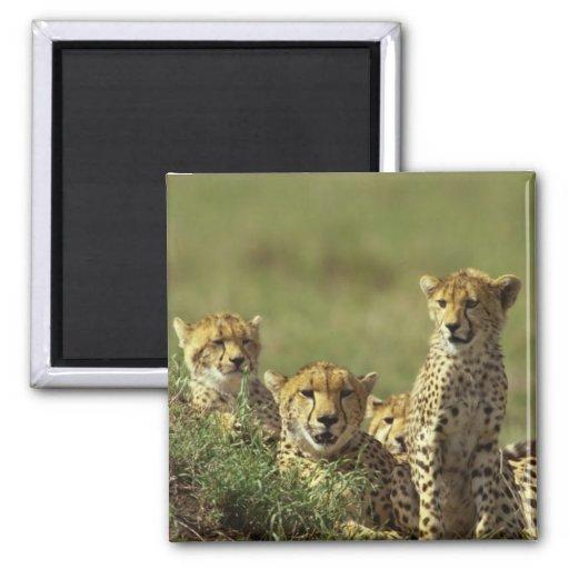 Young Cheetah Group Fridge Magnets