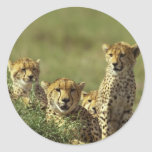 Young Cheetah Group Round Sticker