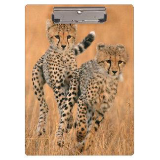 Young Cheetahs (Acinonyx Jubatus) Running Clipboard
