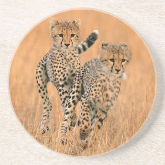 Young Cheetahs (Acinonyx Jubatus) Running Coaster