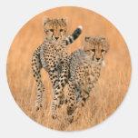 Young Cheetahs (Acinonyx Jubatus) Running Round Sticker
