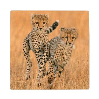 Young Cheetahs (Acinonyx Jubatus) Running Wood Coaster
