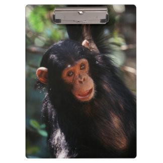 Young Chimpanzee hanging at forest Clipboard