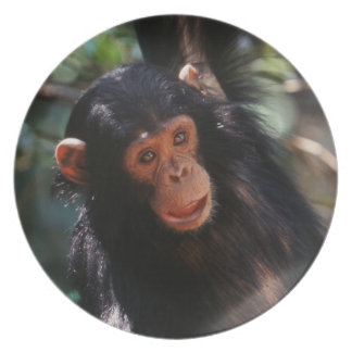 Young Chimpanzee hanging at forest Plate