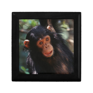 Young Chimpanzee hanging at forest Small Square Gift Box