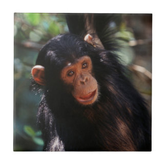 Young Chimpanzee hanging at forest Tile