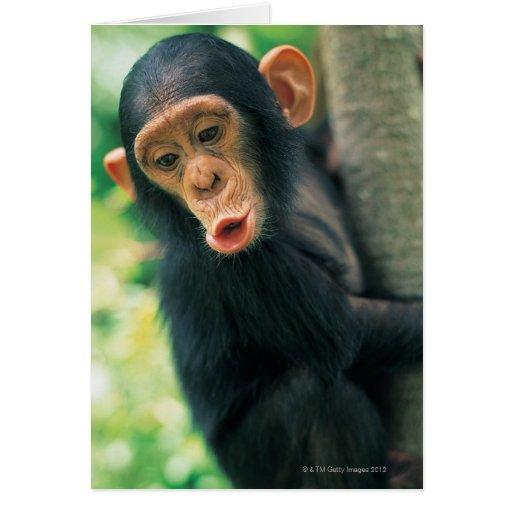 Young Chimpanzee (Pan troglodytes) Card