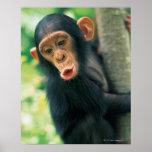 Young Chimpanzee (Pan troglodytes) Poster