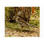 Young Coopers Hawk Postcard