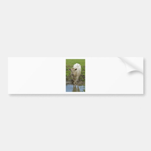 Young Cream Bull at water hole Bumper Sticker