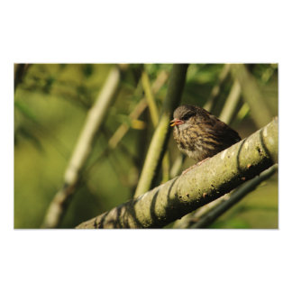 Young Dunnock Art Photo