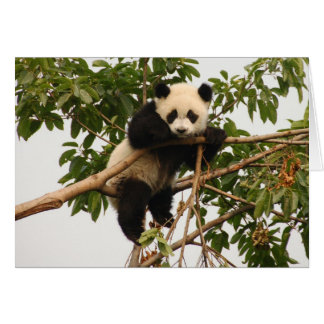 Young giant panda. greeting card
