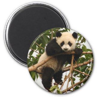 young giant panda magnet
