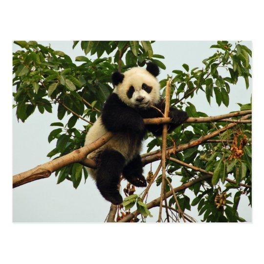 Young giant panda postcard