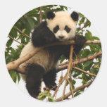 Young giant panda sticker