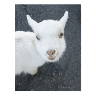 Young goat post card