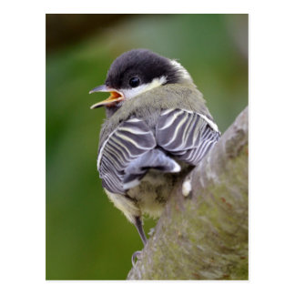 Young great passerine on branch postcard