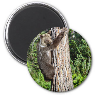 Young Grizzly Bear in a tree Fridge Magnets