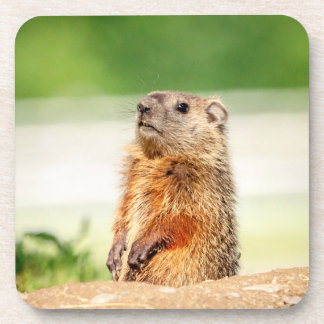 Young Groundhog Coasters