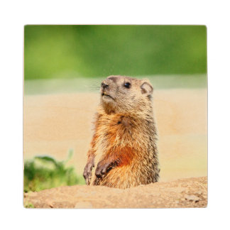 Young Groundhog Maple Wood Coaster