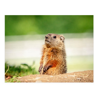 Young Groundhog Postcard