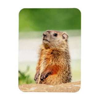Young Groundhog Rectangular Photo Magnet