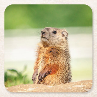 Young Groundhog Square Paper Coaster