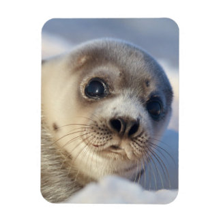 Young harp seal starting to shed its coat rectangular photo magnet