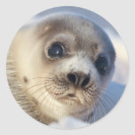 Young harp seal starting to shed its coat round sticker