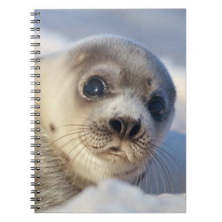 Young harp seal starting to shed its coat spiral note books