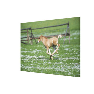 Young Horse Running Canvas Print