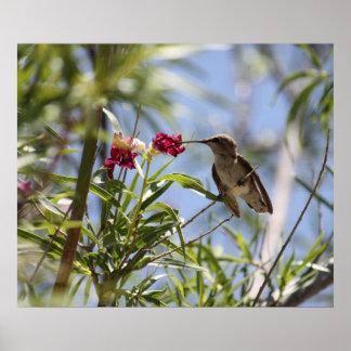 Young Hummingbird Poster