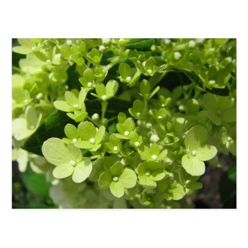 young hydrangea post card