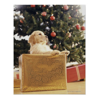 Young Labrador Leaning on a Christmas Present Poster