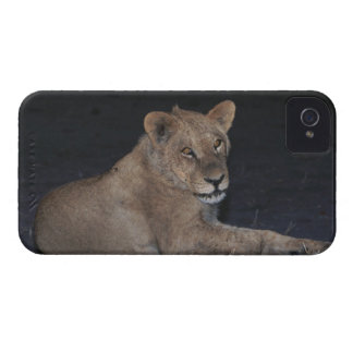 Young Lion at Sunrise iPhone 4 Case