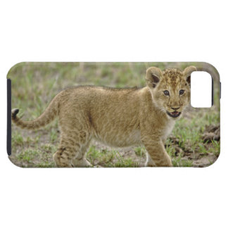 Young lion cub, Masai Mara Game Reserve, Kenya iPhone 5 Cover