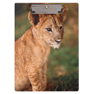 Young lion sitting clipboard