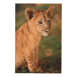 Young lion sitting wood print