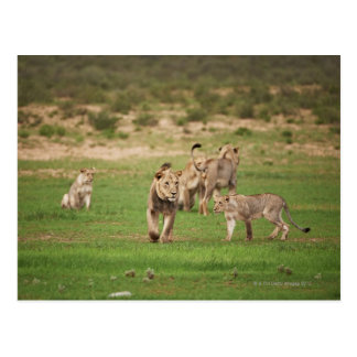 young lions playing, Panthera leo, Kgalagadi Postcard