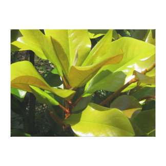 Young Magnolia Bursting New Foilage Canvas Print