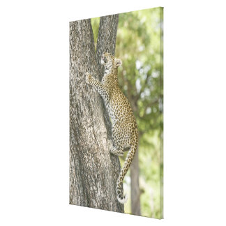 Young male leopard (Panthera Pardus) climbing Canvas Print