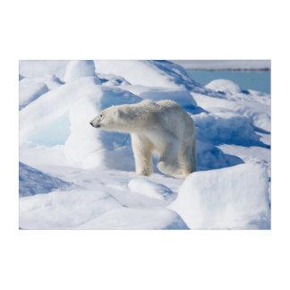 Young Male Polar Bear Acrylic Print