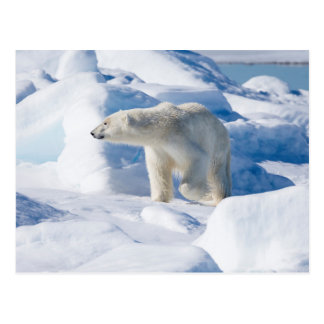 Young Male Polar Bear Postcard