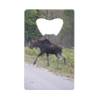 Young Moose About to Cross Road