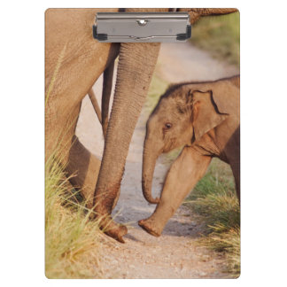 Young one of Indian Asian Elephant Clipboard