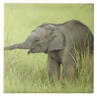 Young one of Indian / Asian Elephant,Corbett Large Square Tile