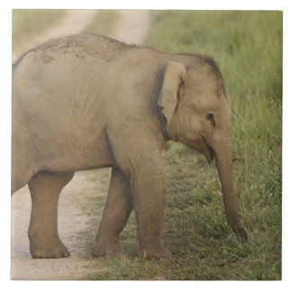 Young one of Indian / Asian Elephant on the Large Square Tile