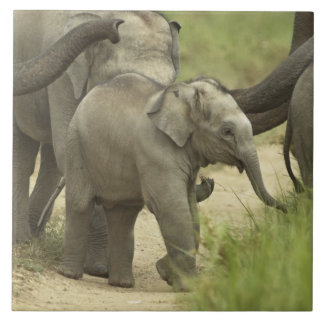 Young ones of Indian / Asian Elephant on the Large Square Tile