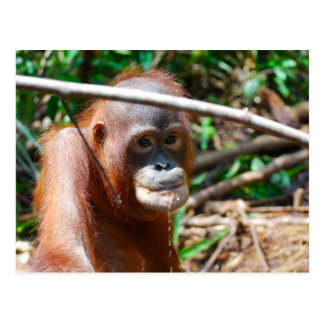 Young Orangutan Drinks Water on island of Borneo Postcard
