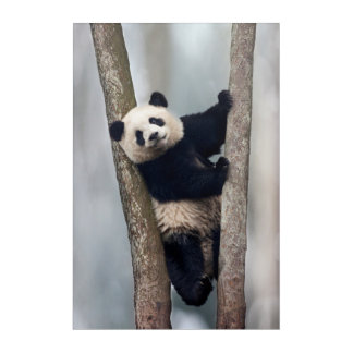Young Panda climbing a tree, China Acrylic Wall Art